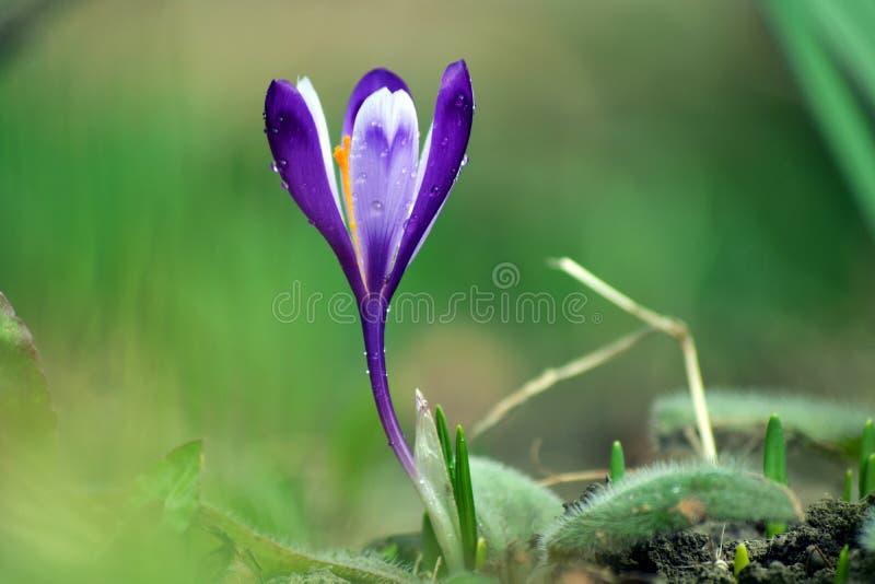 开花在春天的紫色番红花 库存图片