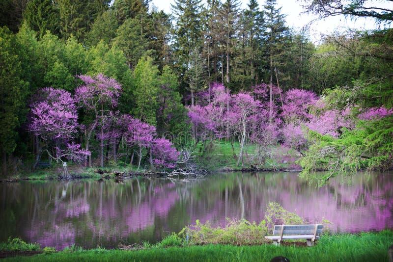 开花在春天的美好的redbuds在莫顿树木园在利斯尔,伊利诺伊 免版税库存图片