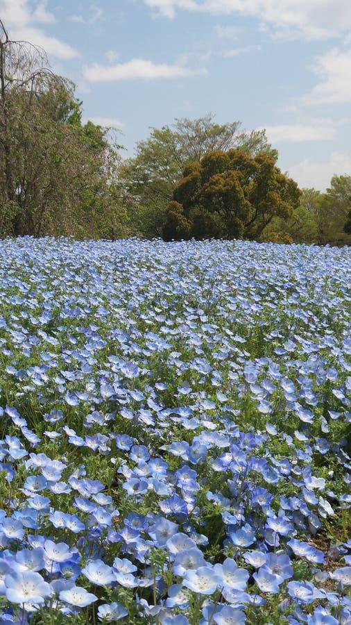 开花在春天的蓝色野花庭院 免版税图库摄影