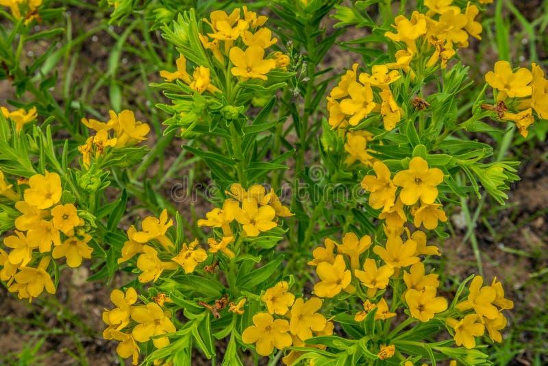 开花在春天的黄色大草原野花 免版税图库摄影