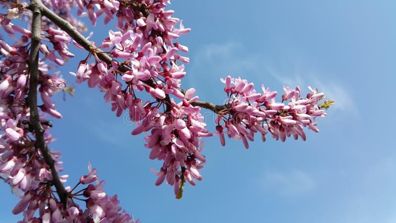 开花在春天的Redbuds 免版税库存图片