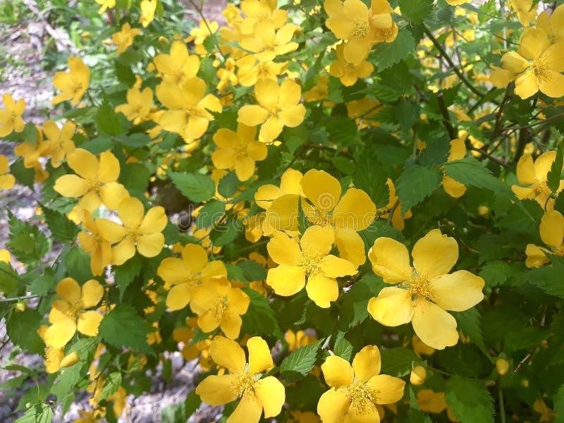 开花在春天黄色凯利Kerria japonica灌木的  库存照片
