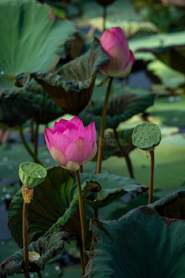 开花在有软的早晨光的一个池塘的美丽的莲花 免版税库存照片