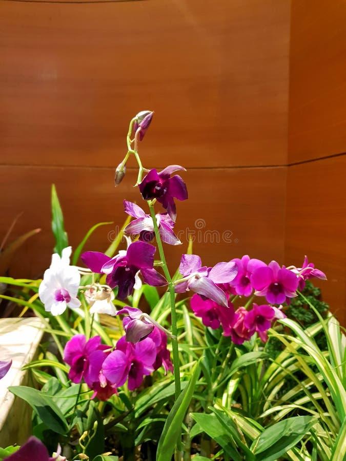 开花在木墙壁上的桃红色和白色兰花作为背景 免版税库存照片