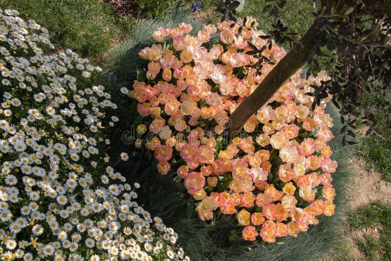 开花在树干附近的郁金香 库存照片