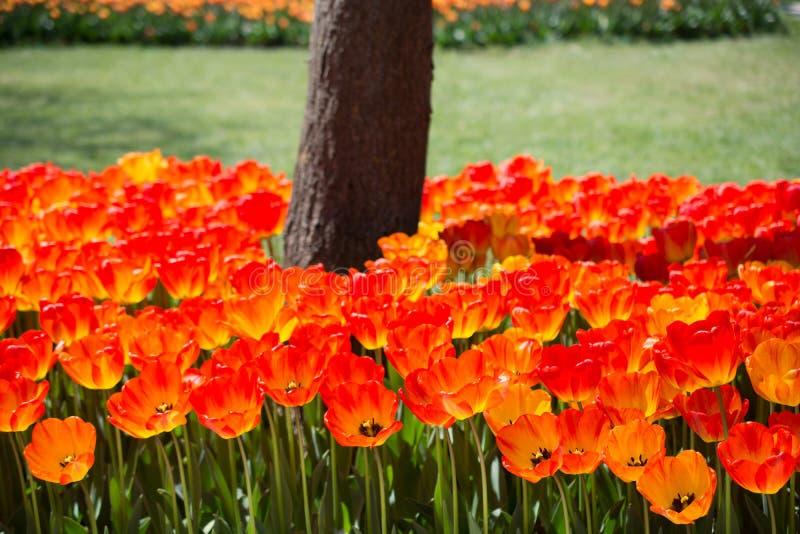 开花在树干附近的郁金香 图库摄影