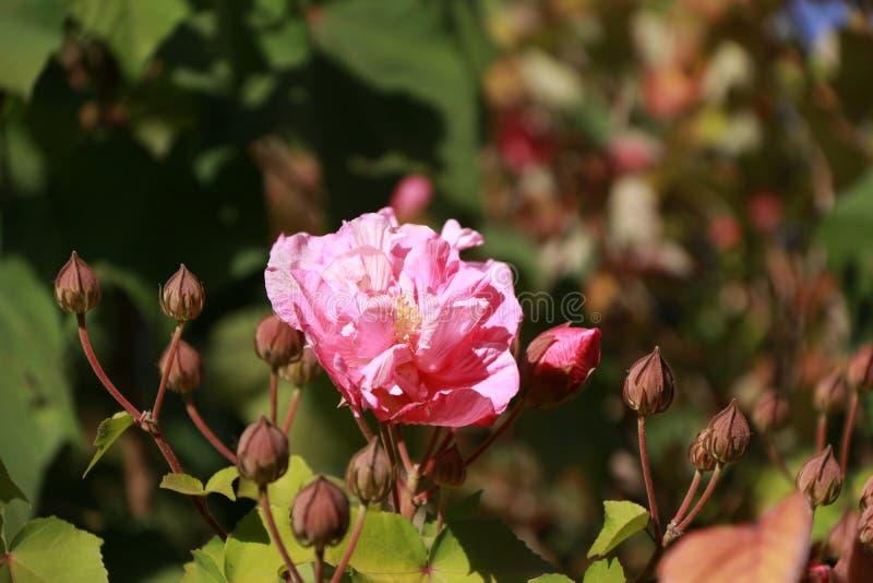 开花在树的桃红色玫瑰 典型地负担红色,桃红色,黄色或者白色芬芳花的多刺的灌木或灌木 免版税库存图片
