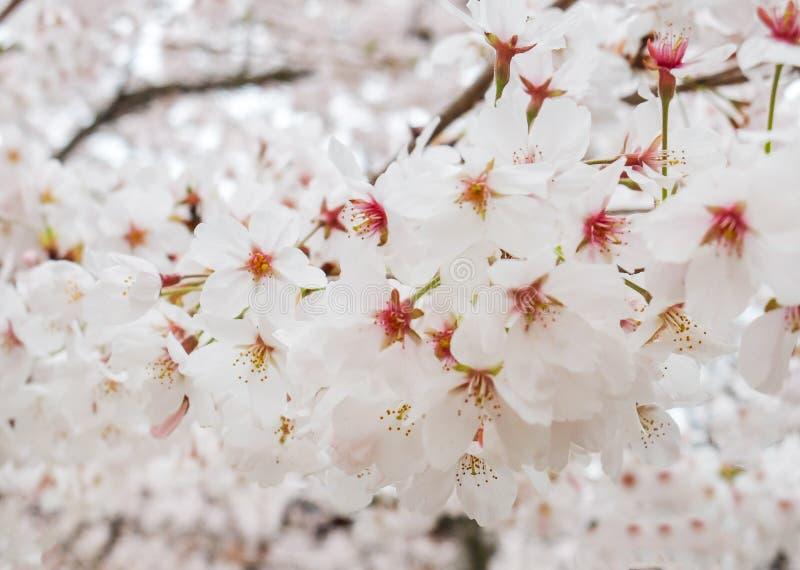 开花在树的白色佐仓花或樱花花美好的开花的分支在日本,自然本底 免版税库存照片