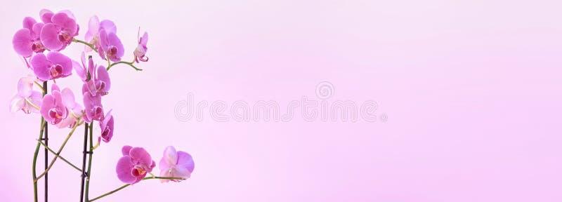 开花在桃红色背景的桃红色兰花 免版税库存照片
