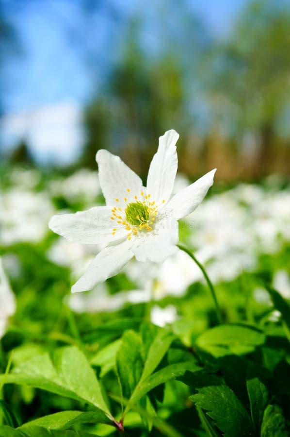 开花在森林里的白色银莲花属 免版税库存图片