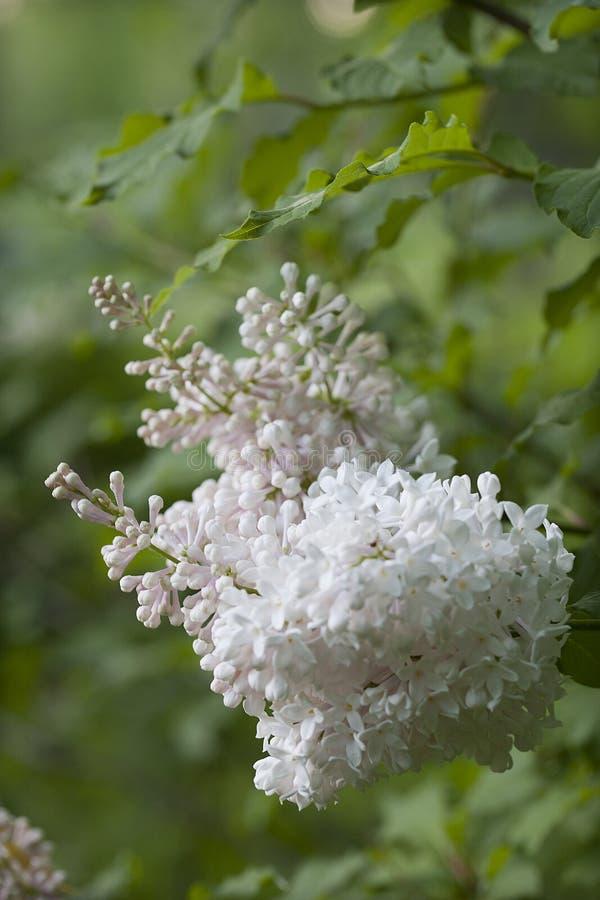 开花在模糊的背景的白色淡紫色分支 库存照片