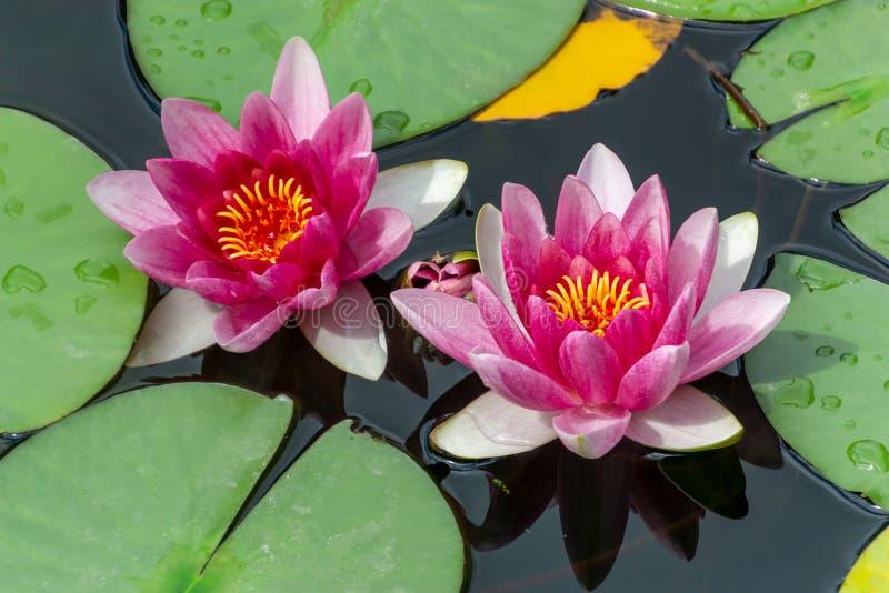 开花在池塘的桃红色新鲜的莲花开花或荷花花 库存图片