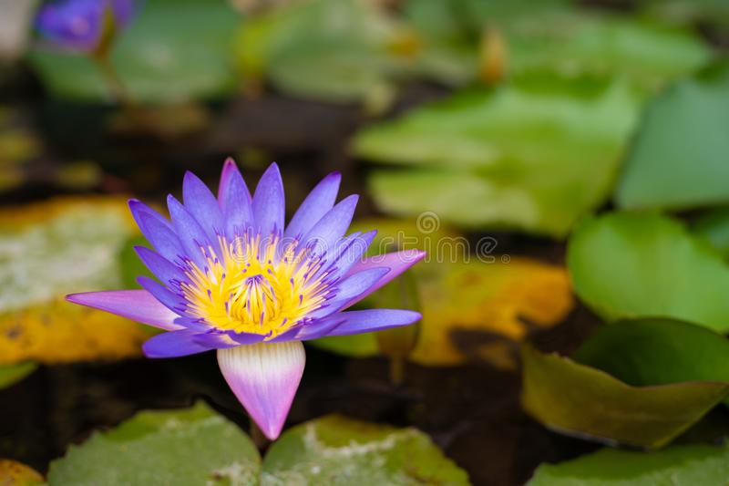 开花在池塘的桃红色莲花开花或荷花花 免版税库存图片