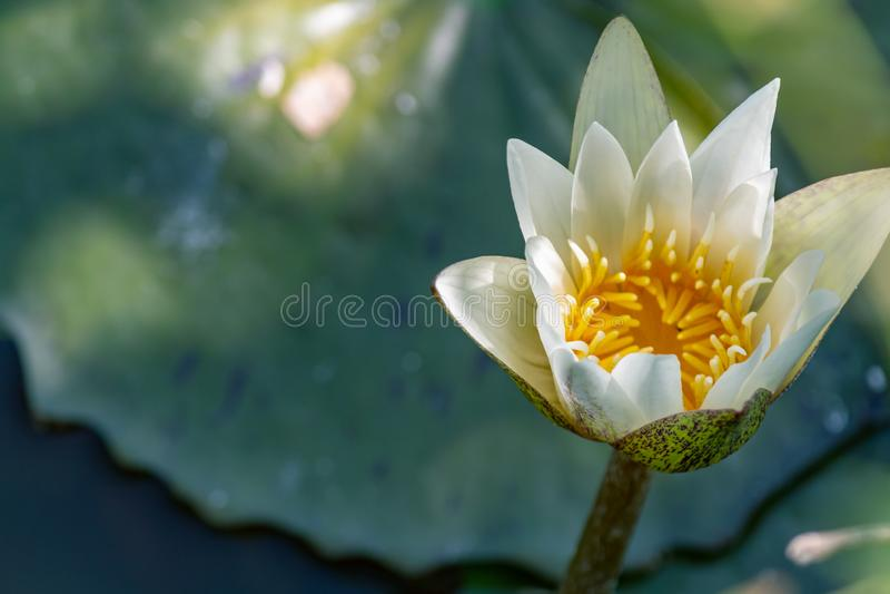 开花在池塘的浪端的白色泡沫百合 这些花可能开花 免版税图库摄影