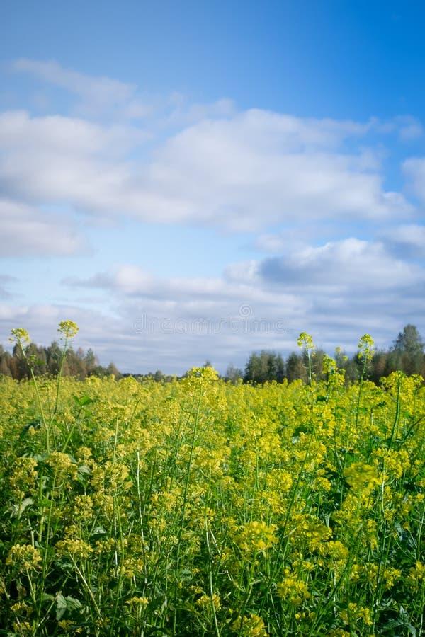 开花在波兰东部,Podlasie的油菜籽领域 库存照片
