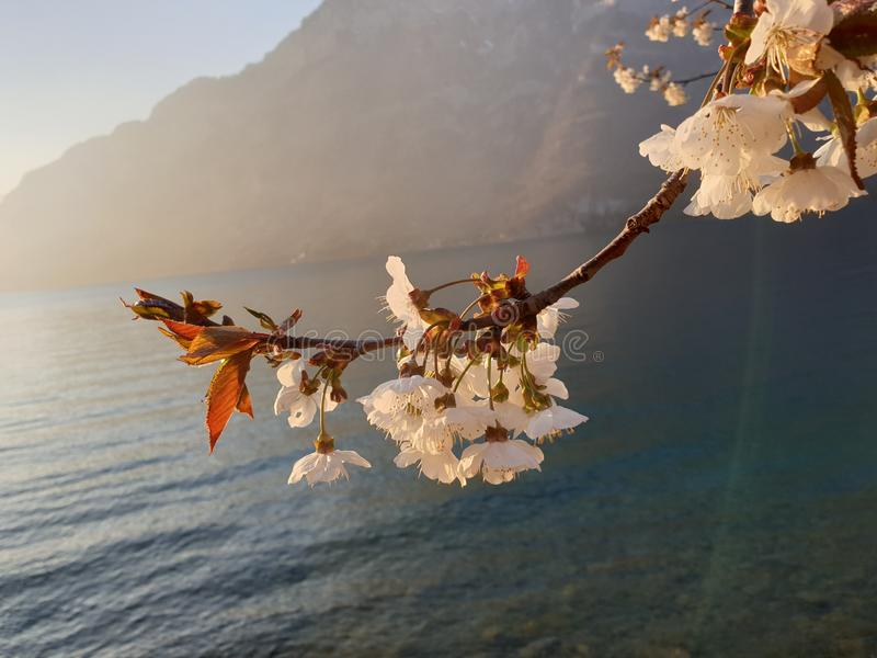 开花在湖的春天 免版税库存图片
