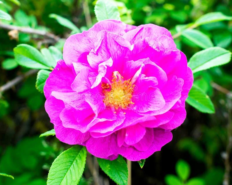 开花在灌木、柔和的瓣和黄色雌蕊,软的bokeh的野玫瑰果花 ?? 图库摄影