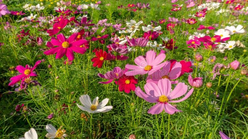 开花在灌木绿色叶子的美丽的桃红色,紫罗兰色和白色波斯菊杂种的领域,在sunnlight早晨下 库存照片