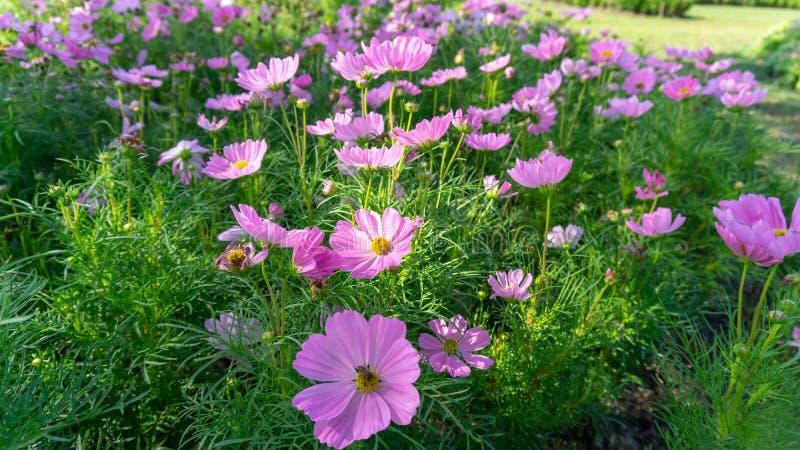 开花在灌木绿色叶子,万寿菊的黄色瓣的美丽的桃红色,紫罗兰色和白色波斯菊杂种的领域在背景的 免版税库存图片