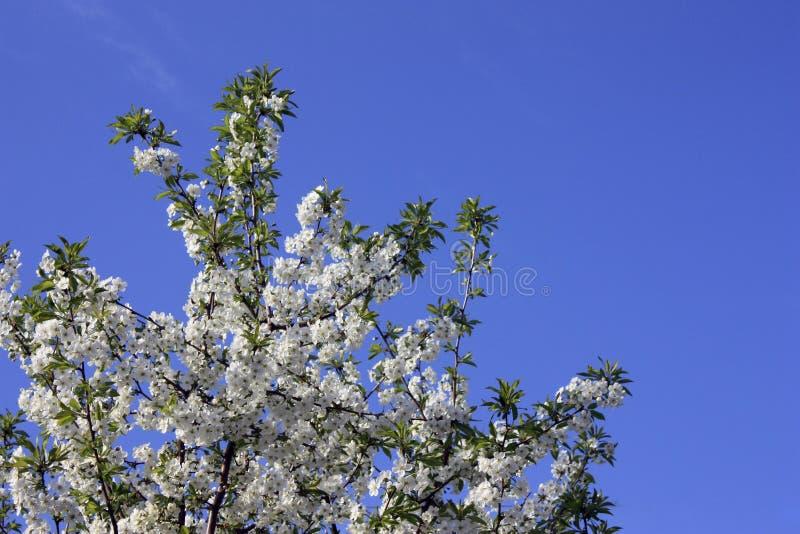 开花在白色的果树在早期的春天在庭院里在一好日子 免版税库存照片