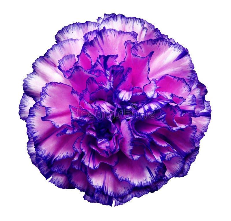 开花在白色被隔绝的背景的桃红色蓝色康乃馨与裁减路线 特写镜头 没有影子 对设计 免版税图库摄影