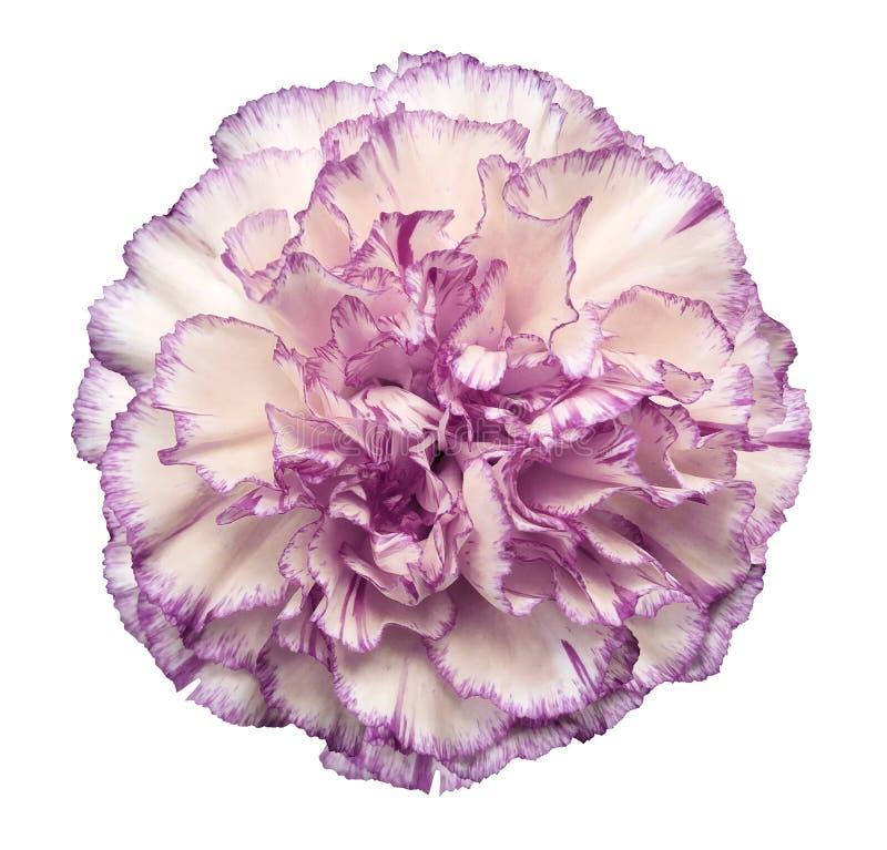 开花在白色被隔绝的背景的白紫罗兰色康乃馨与裁减路线 特写镜头 没有影子 对设计 库存照片