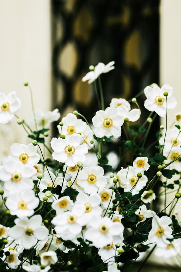 开花在秋天的白色日本银莲花属灌木 免版税库存照片