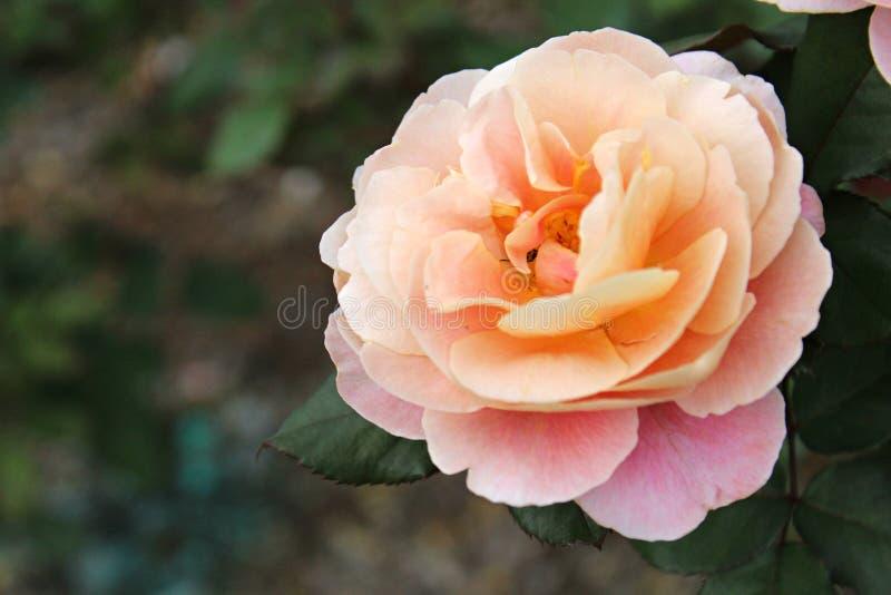 开花在秋天的黄色和桃红色罗斯 免版税库存照片