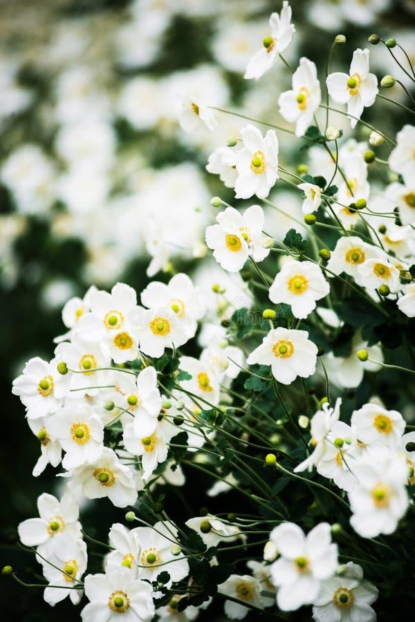 开花在秋天,花背景的白色日本银莲花属灌木 库存照片