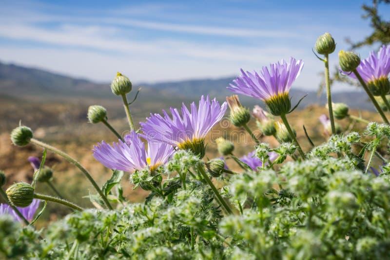 开花在约书亚树国家公园,加利福尼亚的莫哈韦沙漠翠菊Xylorhiza tortifolia野花 库存照片