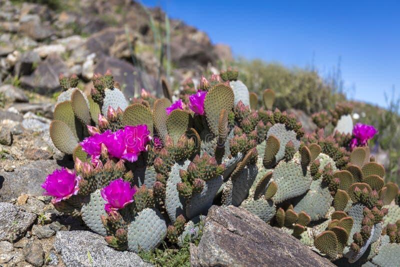 开花在约书亚树N的Beavertail仙人掌和其他野花 库存图片