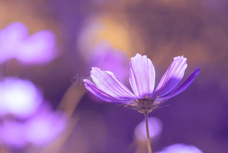 开花在美好的晴朗的背景的波斯菊丁香 软绵绵地集中 库存图片