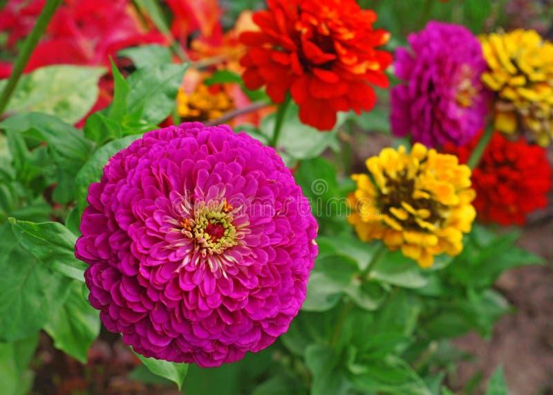 开花在背景的明亮的桃红色百日菊属花床 免版税库存图片