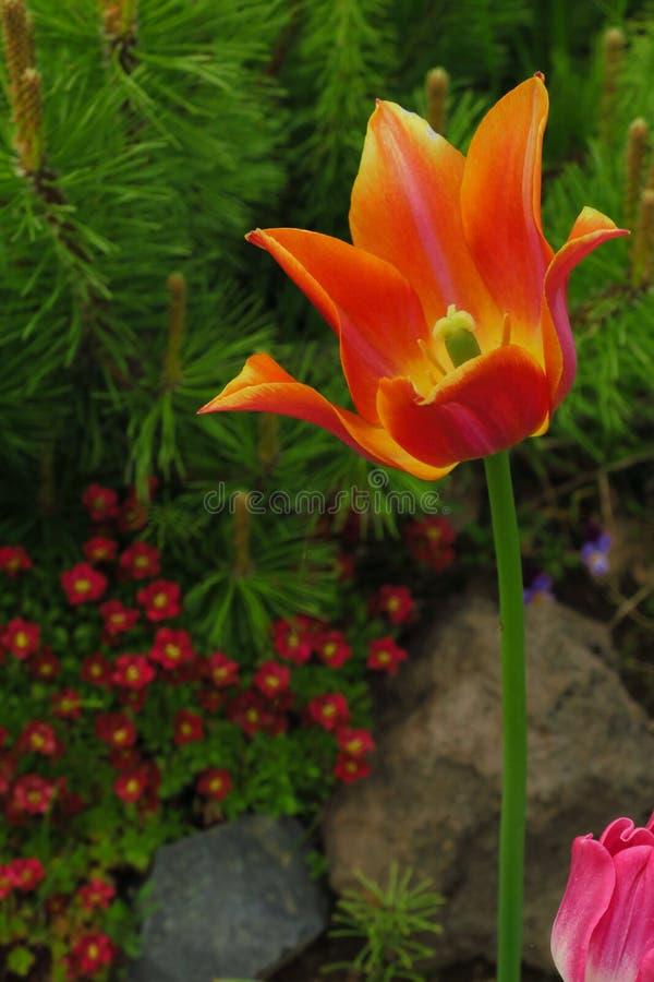 开花在背景郁金香花的阳光下的郁金香花 库存照片