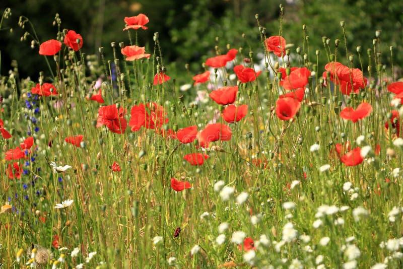 开花在背景鸦片花的花鸦片 免版税库存照片