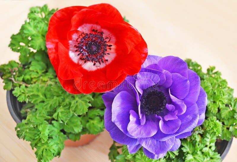 开花在花盆的红色和紫色银莲花属 库存图片