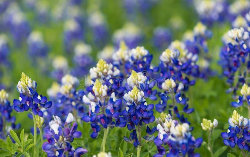 开花在草甸的得克萨斯矢车菊(羽扇豆属texensis) 库存图片