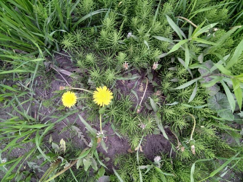 开花在草的黄色蒲公英 图库摄影