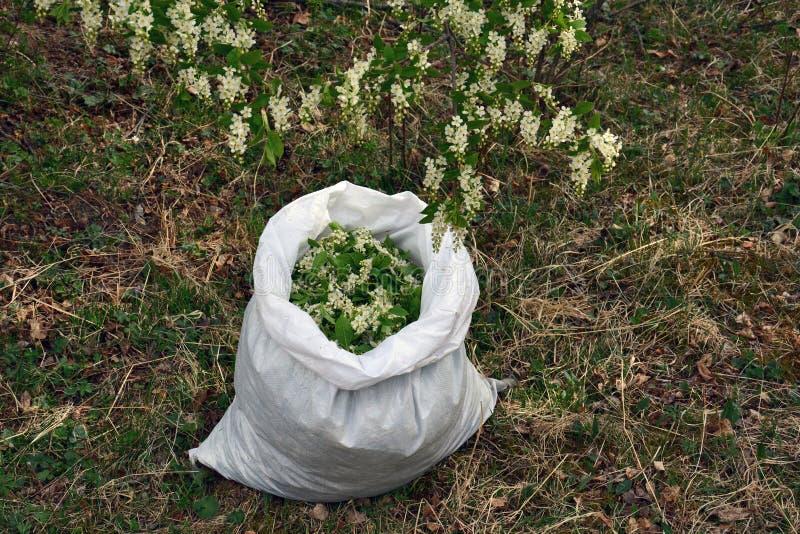 开花在药用植物的袋子准备的稠李 库存图片