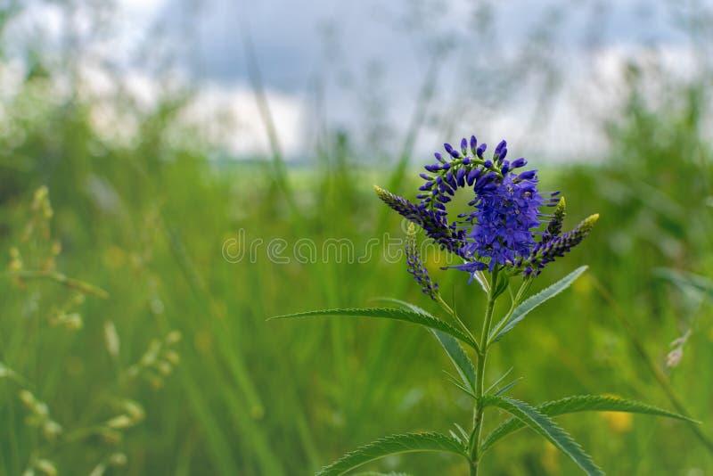 开花在蓝色草甸开花Veronica longifolia 库存图片