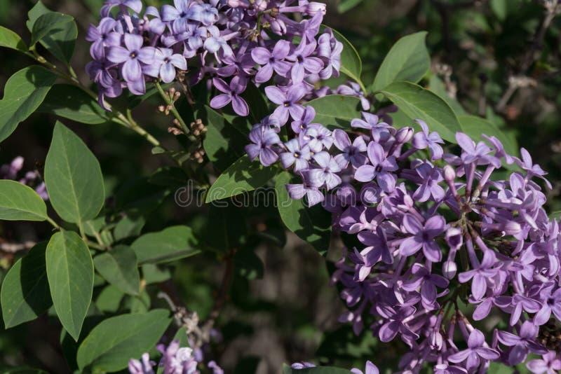 开花在西南的丁香丁香水平啪啪v丁香图片