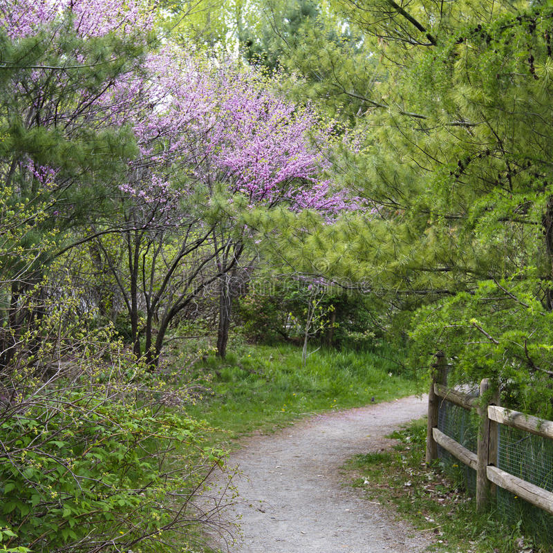 开花在路径粉红色redbuds森林地附近 免版税库存图片
