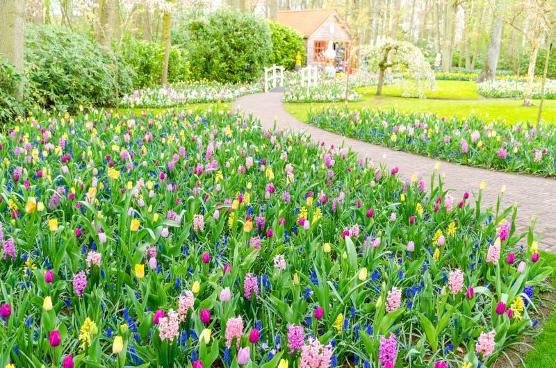 开花在郁金香中的五颜六色的花田的春天的紫色风信花在Keukenhof庭院在荷兰 库存照片