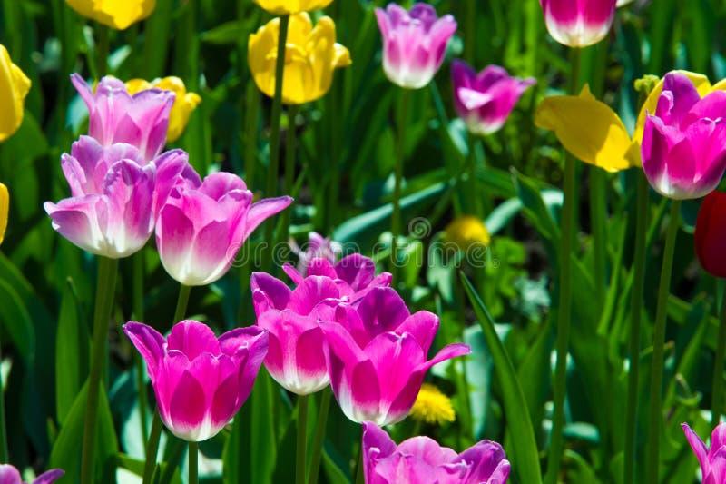 开花在都市花床上的郁金香 早期的春天,温暖的天, s 库存照片