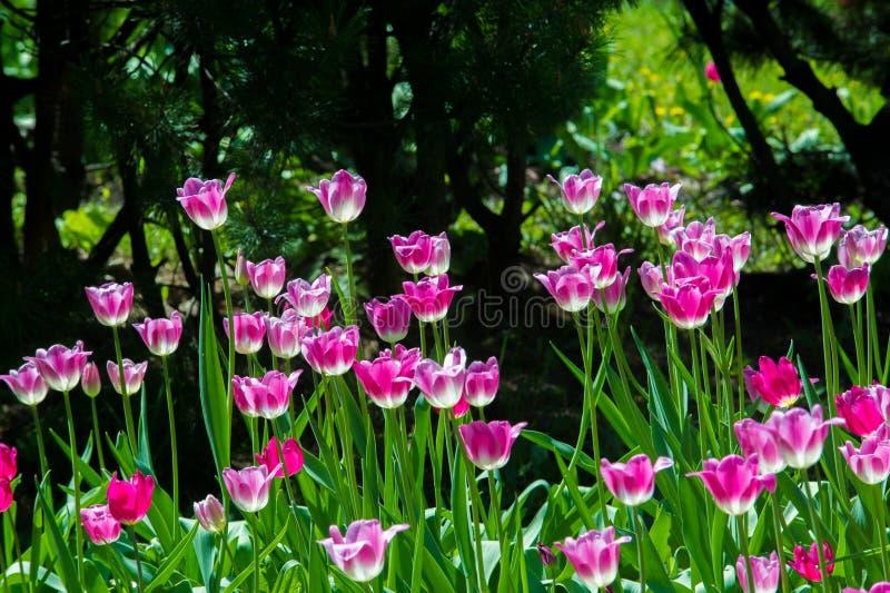 开花在都市花床上的郁金香 早期的春天,温暖的天, s 免版税库存照片