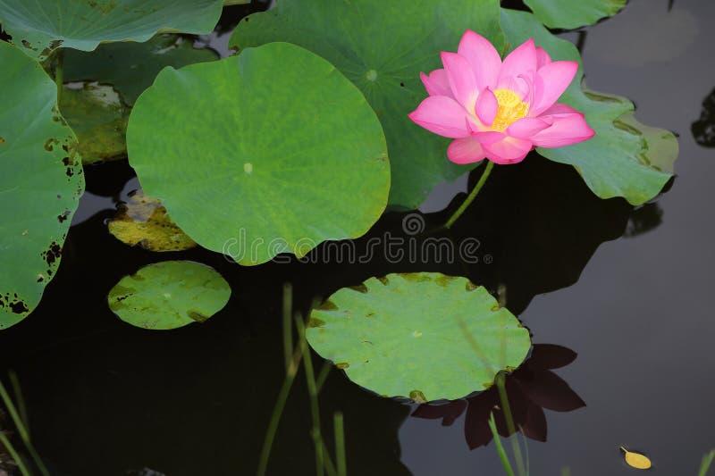 开花在醉汉中的典雅的桃红色莲花的特写镜头在池塘离开 库存图片