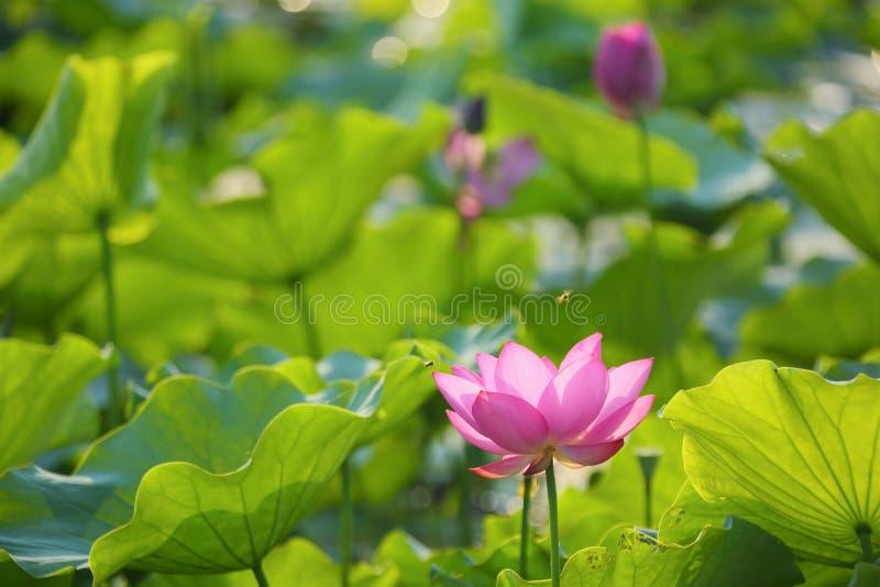 开花在醉汉中的可爱的桃红色莲花在池塘离开在明亮的夏天阳光下 免版税库存照片