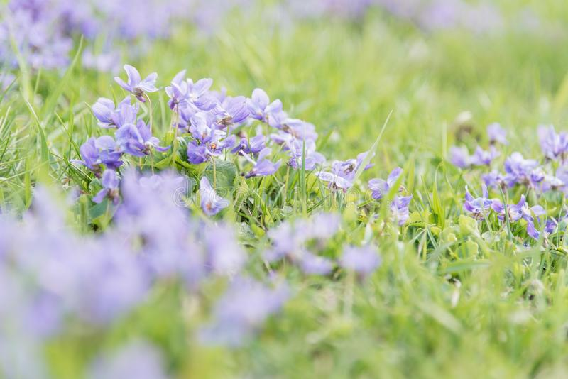 开花在领域的新的春天草的淡色紫色紫罗兰 免版税库存照片