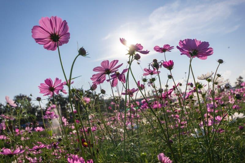 开花在领域的桃红色波斯菊花 免版税图库摄影