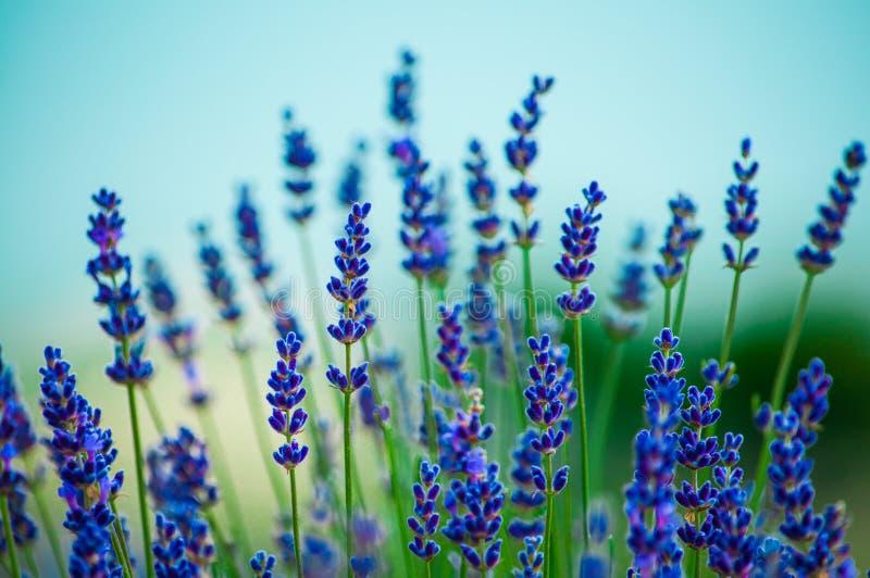 开花在领域的淡紫色花 免版税库存图片